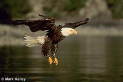 Bald Eagle Glide P128