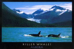 Postcard - Killer Whales