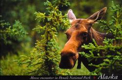 Postcard - Moose in Denali National Park