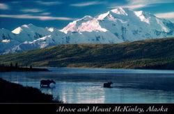 Postcard - Moose in Wonder Lake