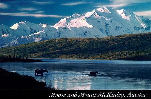 Moose in Wonder Lake, Denali National Park, Alaska ...