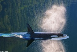 Killer Whale Reflections