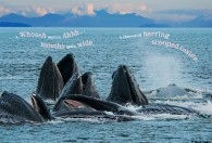 "Humpback Whales ""bubble netting"""