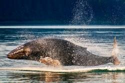 P208 Levitating Leviathan - Humpback Whale