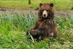 Pack Creek Brown Bear