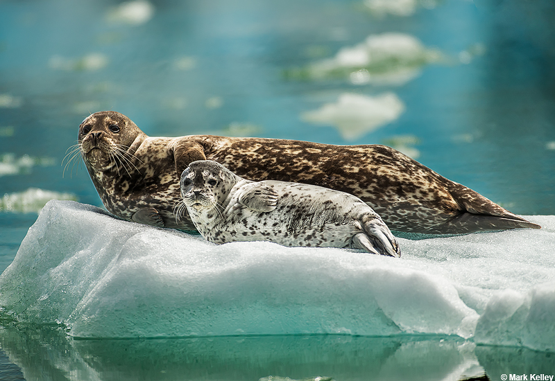 Tracy Arm Seal and Pup in Iceberg