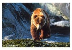 Brown Bear 948