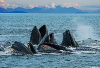 Humpback Whales Bubble Feeding by Mark Kelley