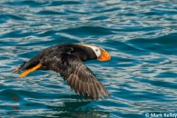 Tufted_Puffin_Glacier_Bay_Mark_Kelley
