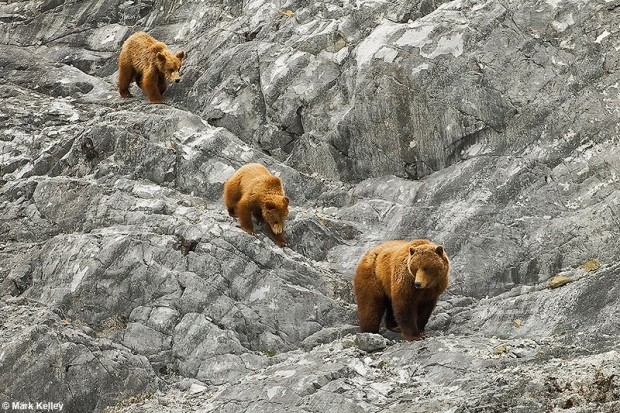 Glacier Bay Bears