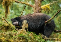 Sleeping Black Bear at Anan Creek