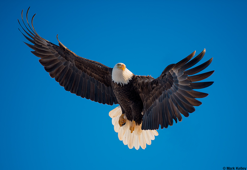 Bald Eagle Alaska Calendar Mark Kelley Photography