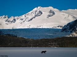 Winter Wolf Mendenhall Glacier Mark Kelley