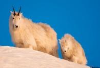 Mountain Goats Juneau Alaska Calendar Mark Kelley