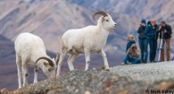 Dall Sheep in Denali Mark Kelley