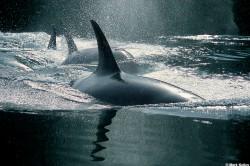 P101-Killer-Whale-Power