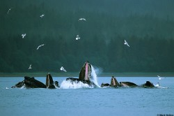 Bubble-Net Feeding Humpback Whales in the Inside Passage