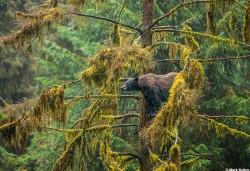 Drizzly_Bear_Mark_Kelley_Alaska_2016_Calendar_07July