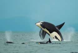 """""""Orca Breach"""" - Photo Art Print P221"""