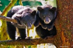 P222-Bear-Cubs