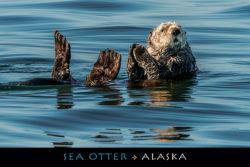 PC133-Sea-Otter-Alaska-Mark-Kelley