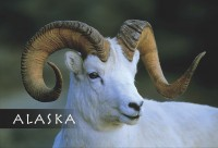 Dall-Sheep-Alaska-Mark-Kelley-Magnet