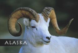 Dall-Sheep-Alaska-Mark-Kelley-Magnet