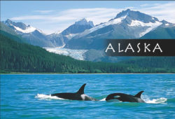 Killer-Whales-Alaska-Mark-Kelley-Magnet