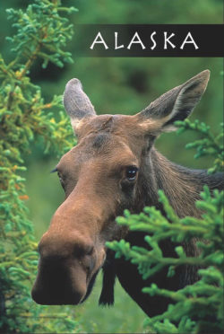 Moose-Alaska-Mark-Kelley-Magnet