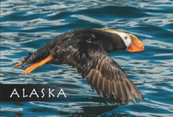 Puffin-Alaska-Mark-Kelley-Magnet
