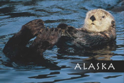 Sea_Otter-Alaska-Mark-Kelley-Magnet