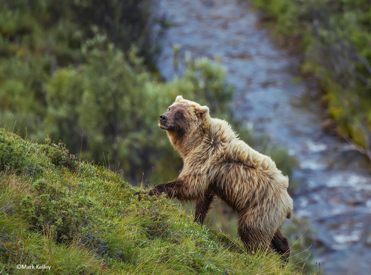 Denali_National_Park_Grizzly_bear_mark_kelley