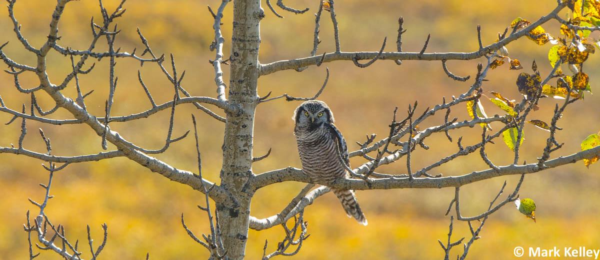 Northern_Hawk_Owl_Mark_Kelley_Alaska