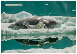 NC947_harbor_seal_mark_kelley_alaska