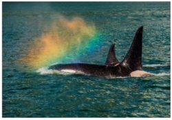 nc974_orca_and_rainbow_mark_kelley_alaska