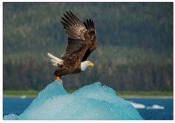 nc975_eagle_on_iceberg_mark_kelley_alaska