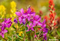 JNUCAL18-JUL-20160715_Mark_Kelley_Glacier_Bay_Flowers_94