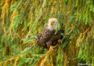 Bald eagle by Alaskan Photographer Mark Kelley